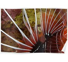Spines, Lionfish, Ras Muhammed Poster