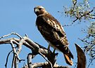 Red-tailed Hawk ~ Once upon a Perch by Kimberly Chadwick