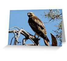 Red-tailed Hawk ~ Once upon a Perch Greeting Card
