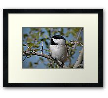 Carolina Chickadee in Holly Tree Framed Print