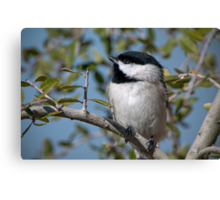Carolina Chickadee in Holly Tree Canvas Print