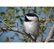 Carolina Chickadee in Holly Tree Photographic Print