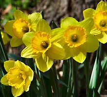 Spring Daffodils by Christina Rollo