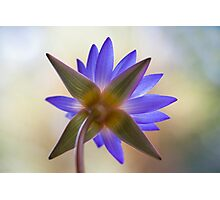 Shining Thru Two - purple waterlilly  Photographic Print