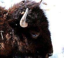 The Buffalo. by Ronda Basteyns