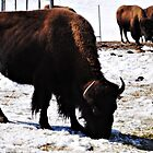 The buffalo, again xD by Ronda Basteyns