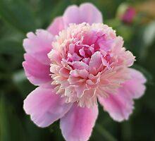 So Many Petals by AbigailJoy
