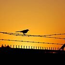 Bird on a Barbed Wire by Walt Conklin