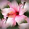 *Feature Page/Hibiscus - Enchanted Flowers*