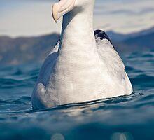 Wandering Albatross by Kimball Chen