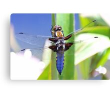Broad Bodied Chaser Dragonfly Canvas Print