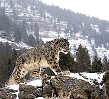 MrShutterbug Wildlife Photography Snow Leopards 2011 by mrshutterbug