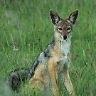 Black backed jackal by Paulo van Breugel
