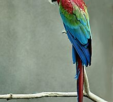 Scarlet Macaw by Barb Miller