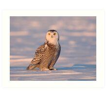 Late Light Juvenile / Snowy Owl Art Print