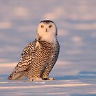 Late Light Juvenile / Snowy Owl by Gary Fairhead
