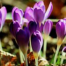 Purple Crocuses by Pamela Jayne Smith