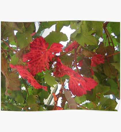 Autumn vine leaves Poster