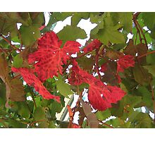 Autumn vine leaves Photographic Print