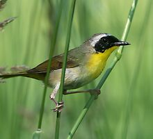 Common Yellowthroat On Green by Gary Fairhead