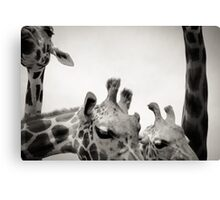 Giraffe IV Canvas Print
