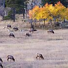 Elk at Sunrise by chas48