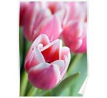 Beautiful Pink Tulips Poster