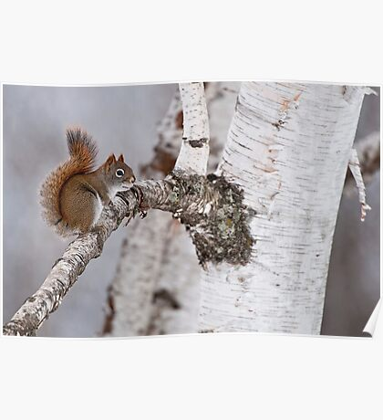 Red Squirrel on Birch Tree Poster