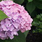 Lavender/pink Hydrangea  by Jeff Stroud