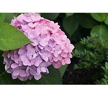 Lavender/pink Hydrangea  Photographic Print