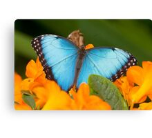 Peleides Blue Morpho Butterfly Canvas Print