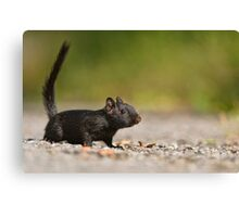 Black Eastern Chipmunk 2 - Ottawa, Ontario Canvas Print