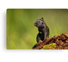 Black Eastern Chipmunk - Ottawa, Ontario Canvas Print