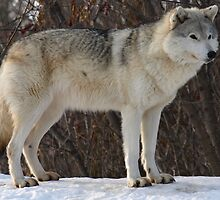 The Grey Timberwolf (Canis lupus) by Moxy