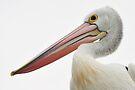Close Crop - Australian Pelican by Barbara Burkhardt