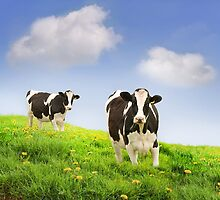 Friesian Cows by pixelmemoirs