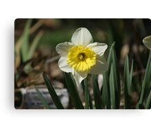 Just Daffy About Daffodils Canvas Print