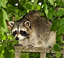 Raccoon by Wild For Ever