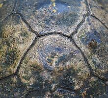 Tortoise Shell by William C. Gladish