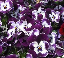 purple and white pansies by Maureen Zaharie