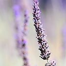 The Sweet Smell of Lavender by ~ Fir Mamat ~
