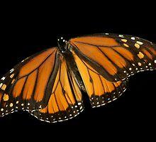 Monarch Butterfly by Marija