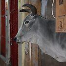 City Cow, Jaiselmir, Rajasthan, India by RIYAZ POCKETWALA