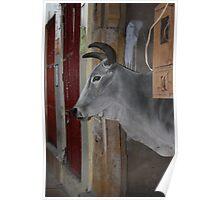 City Cow, Jaiselmir, Rajasthan, India Poster