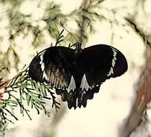 The Butterfly by Evita