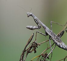Mantis on the Move by Kathy Newton