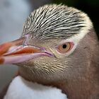 Adult Yellow-eyed Penguin by Werner Padarin