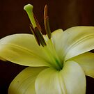 Lily warm and soft. by Lozzar Flowers & Art