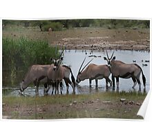 Group of Oryx at a water hole Poster