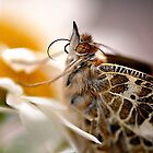 Close up with a Painted lady  by Judy Grant